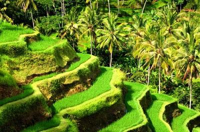 Tarasy ryżowe w Ubud Bali